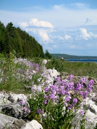 Mackinac shoreline wildflowers