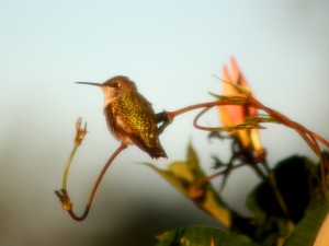 Hummingbird through screened window